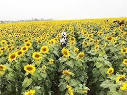 Mơ thấy hoa hướng dương đánh bao nhiêu ăn chắc