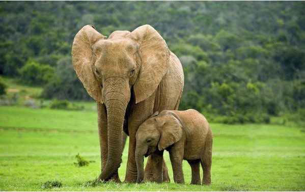 Nằm mơ thấy voi đánh con gì? Ý nghĩa giấc mơ thấy voi